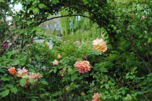 Heritage Roses 4