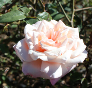 Rose sold as Comtesse Riza Du Parc