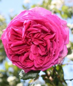 Rose sold as Mrs Reynolds Hole