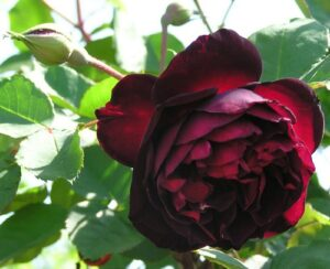 Rose sold as Francis Dubreuil, (ROR) - class uncertain, not Tea
