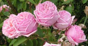 Rose sold as Triomphe du Luxembourg, probably Rhodologue Jules Gravereaux, Tea-HT